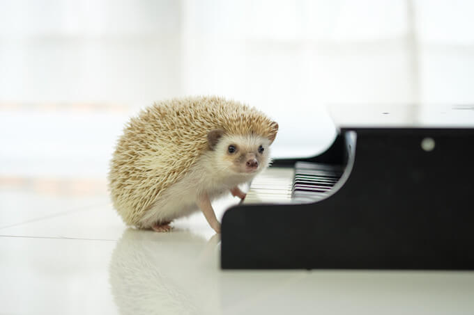 ピアノを弾くハリネズミ